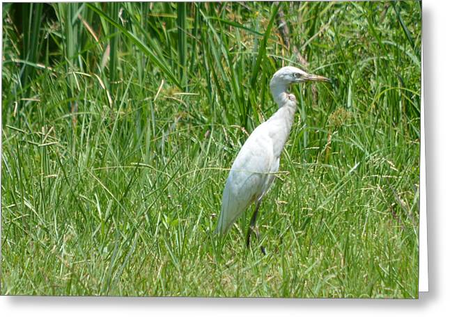 Egret Waiting And Watching  Greeting Card by Ruth  Housley