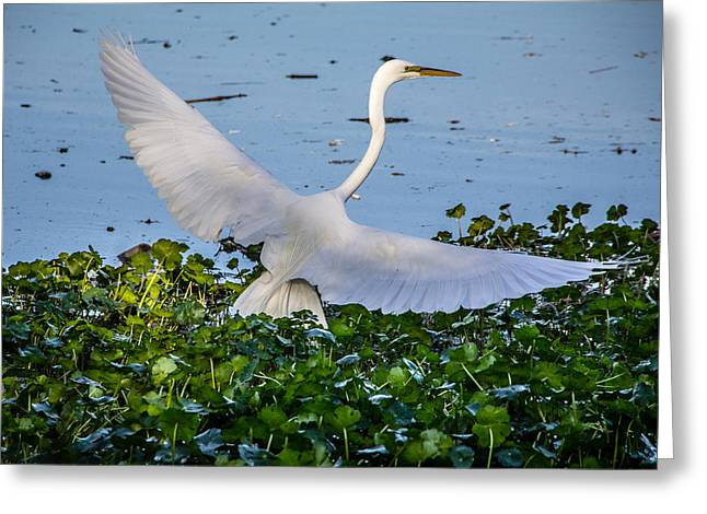 Greeting Card featuring the photograph Egret With Wings Spread by Randy Bayne