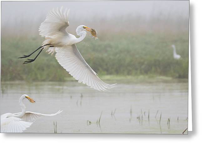 Egrets Fish Greeting Card