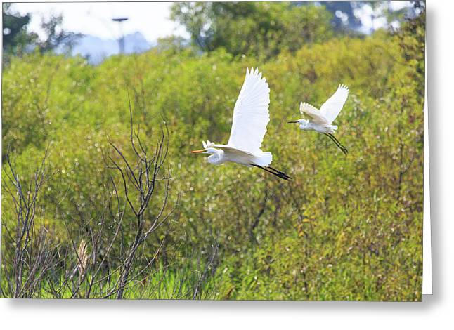 Greeting Card featuring the photograph Egrets In Flight by Jennifer Casey