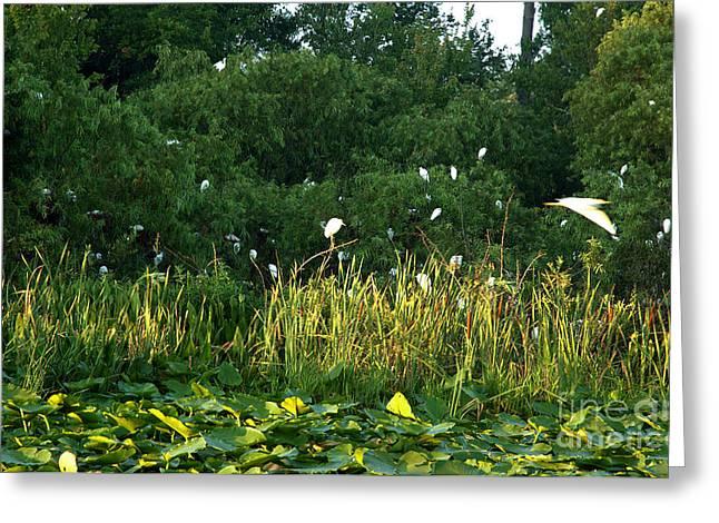 Egrets Nesting Greeting Card