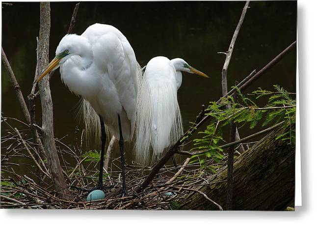 Egrets Greeting Card