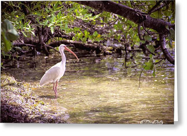 White Ibis Mexico Greeting Card by William Havle