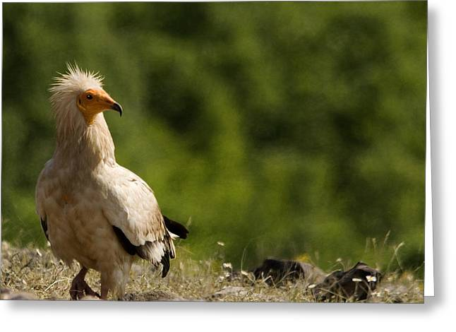 Egyptain Vulture  Greeting Card
