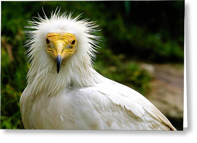 Egyptian Vulture Greeting Card
