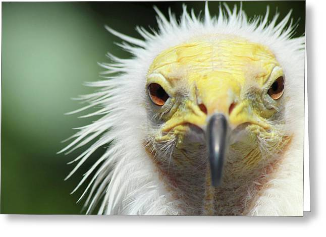 Egyptian Vulture Greeting Card by David Stasiak