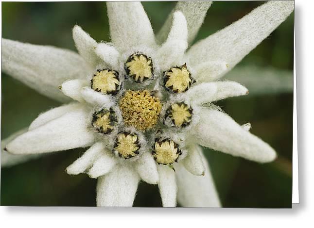 Eidelweiss Flower, Symbol Greeting Card by Norbert Rosing