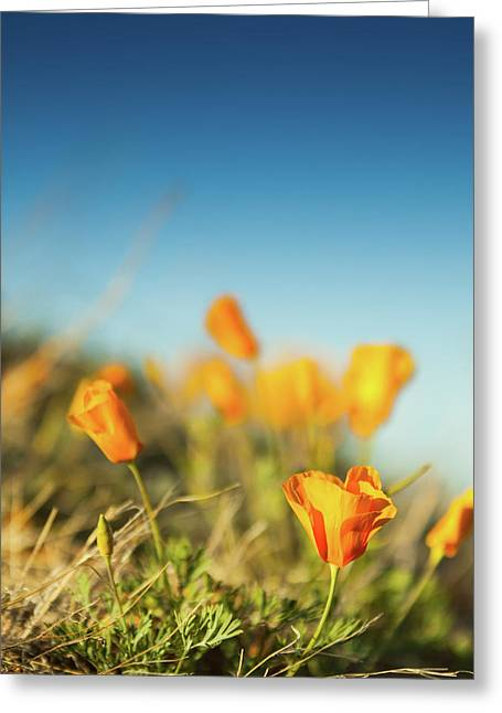 El Paso Poppies Greeting Card