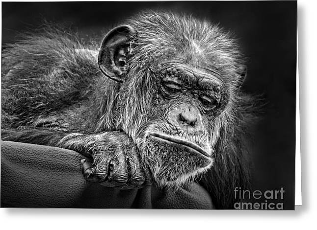 Elderly Chimp Watching The Action Below Greeting Card