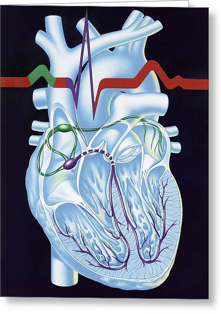 Electrical Conduction In The Heart, Artwork Greeting Card