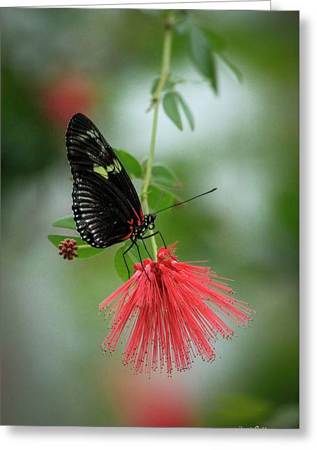 Elegance Cecil B Day Butterfly Center Art Greeting Card by Reid Callaway