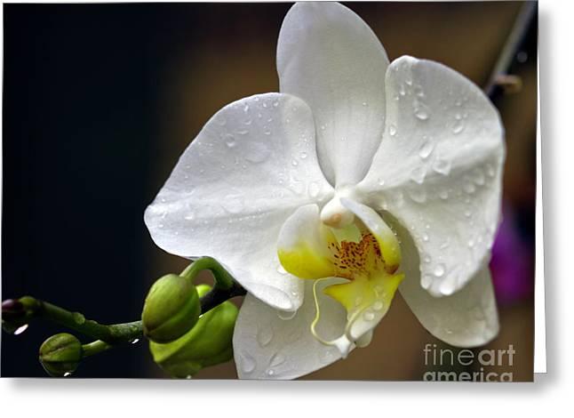 Elegance In White Greeting Card by Ken Frischkorn