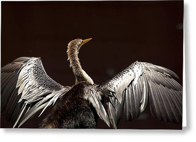 Elegant Anhinga Greeting Card