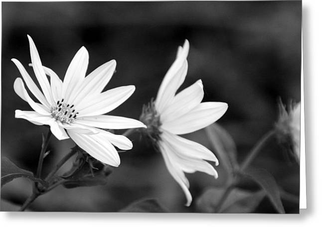 Elegant Asters Greeting Card
