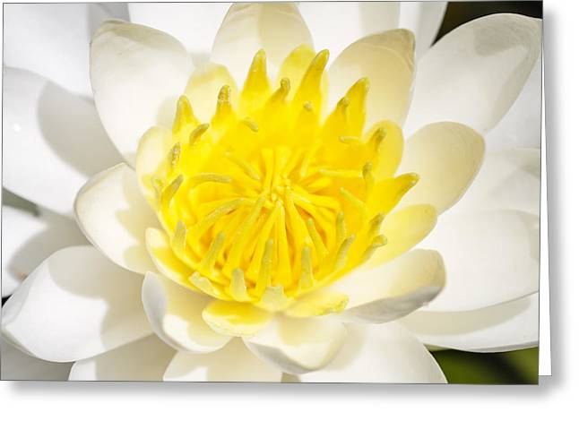 Elegant Lotus Greeting Card