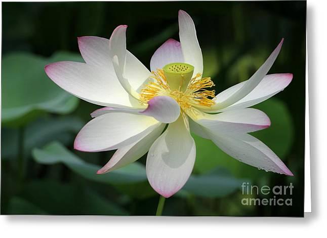 Elegant Lotus Greeting Card