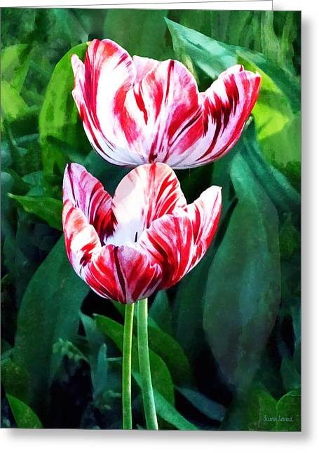 Elegant Pink And White Striped Tulips Greeting Card