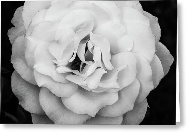 Elegant Rose In Square Composition And Monochrome Greeting Card