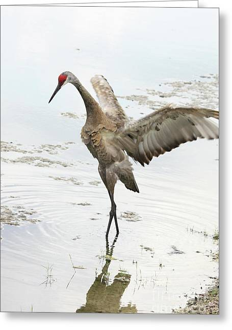 Elegant Sandhill Dancer Greeting Card by Carol Groenen