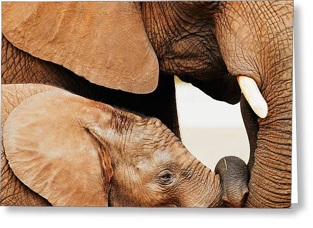 Elephant Calf And Mother Close Together Greeting Card