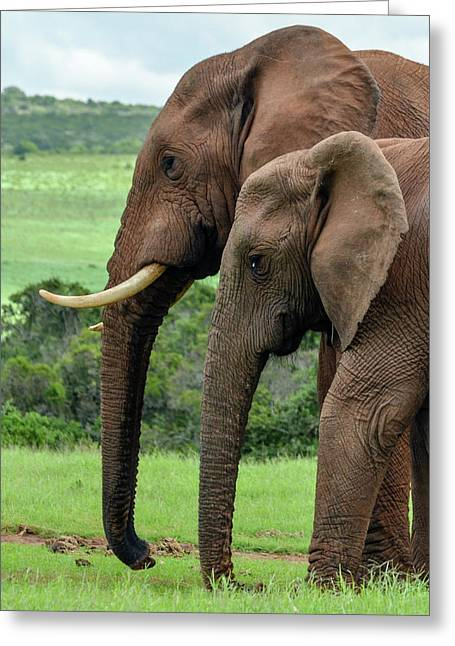 Elephant Couple Profile Greeting Card