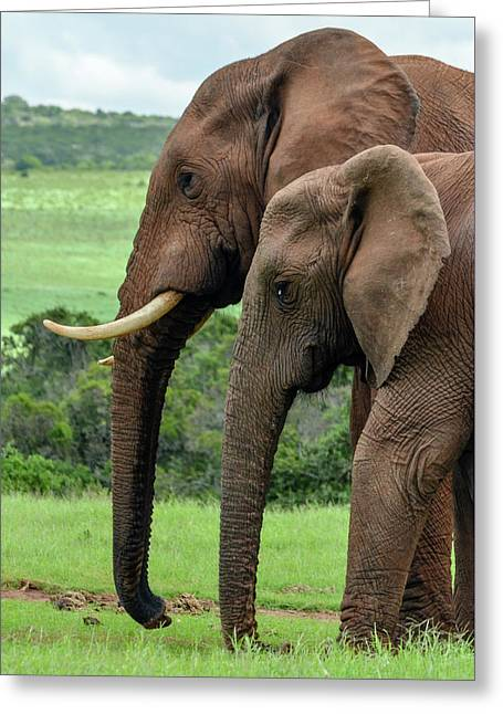 Elephant Couple Profile Greeting Card