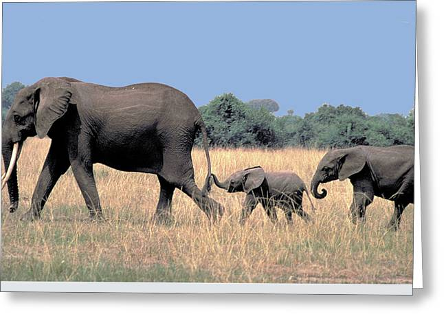 Elephant Family Greeting Card by Carl Purcell