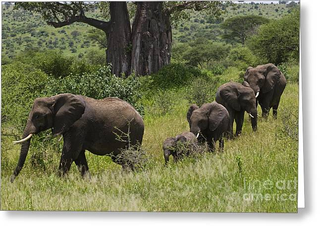 Elephant Family Tarangire Np Greeting Card by Craig Lovell