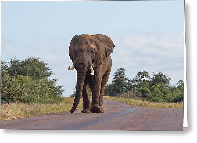 Elephant In Kruger Greeting Card