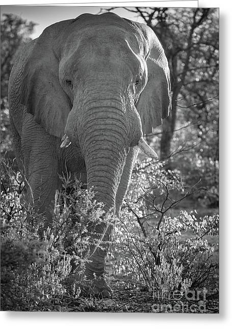 Elephant Portrait Greeting Card