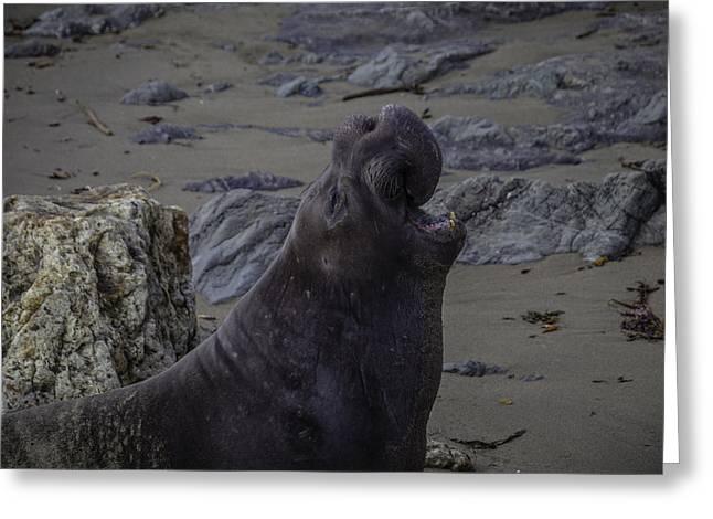 Elephant Sea Portrait Greeting Card