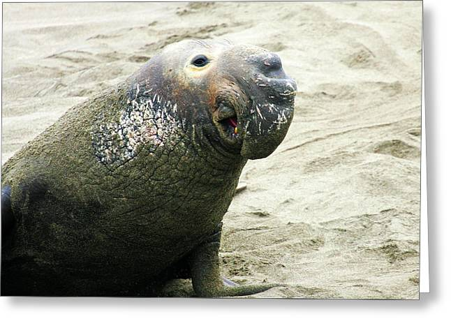 Greeting Card featuring the photograph Elephant Seal by Anthony Jones