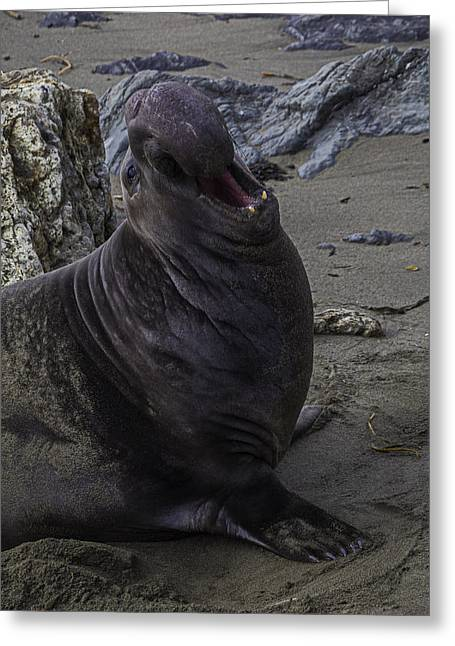Elephant Seal Calling Greeting Card by Garry Gay