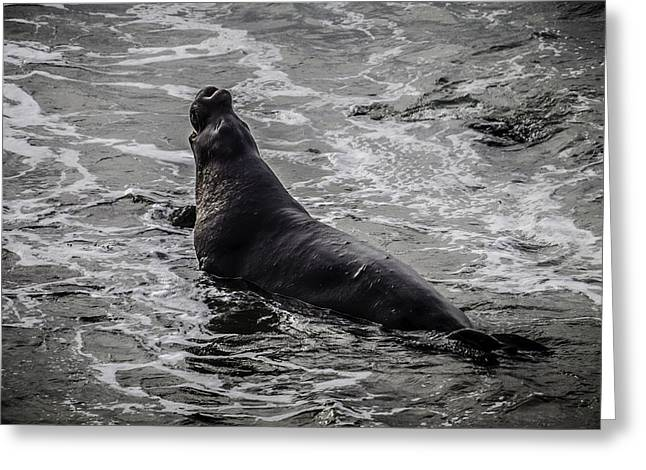 Elephant Seal In Surf Greeting Card by Garry Gay