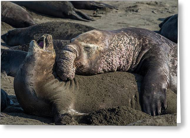 Elephant Seal Luv Greeting Card
