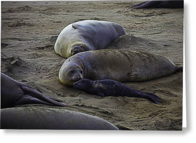 Elephant Seal Mom And Pup Greeting Card by Garry Gay