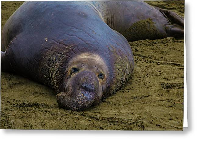 Elephant Seal Portrait Greeting Card by Garry Gay