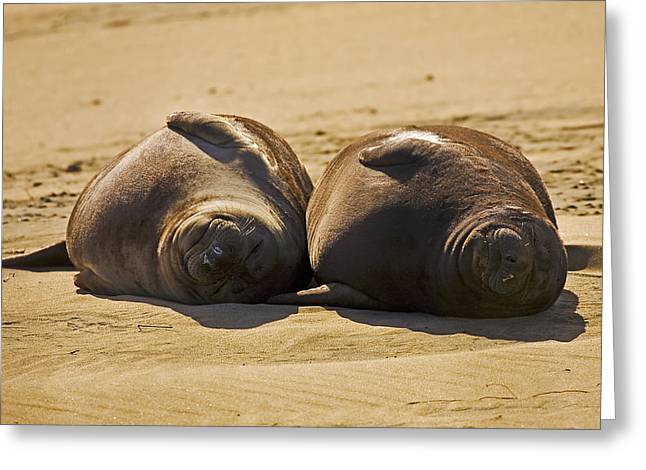 Elephant Seals Greeting Cards - Elephant Seal Pupps Napping Greeting Card by Greg Clure