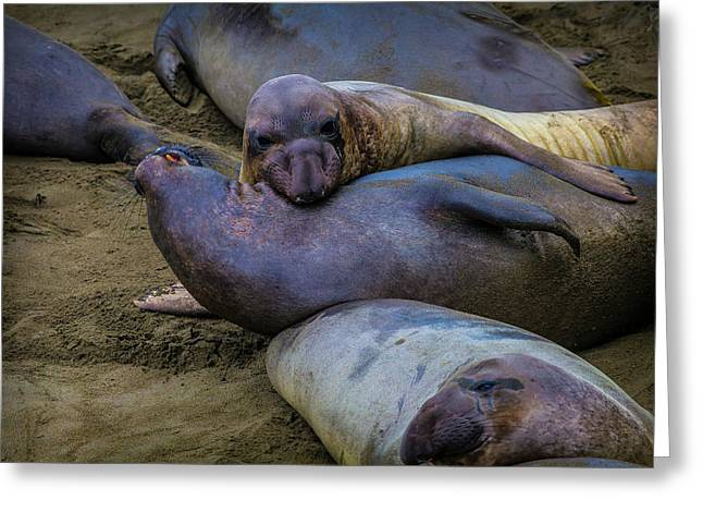 Elephant Seals Fighting Greeting Card by Garry Gay
