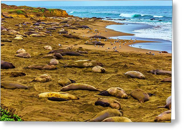 Elephant Seals Near Cambria  Greeting Card by Garry Gay
