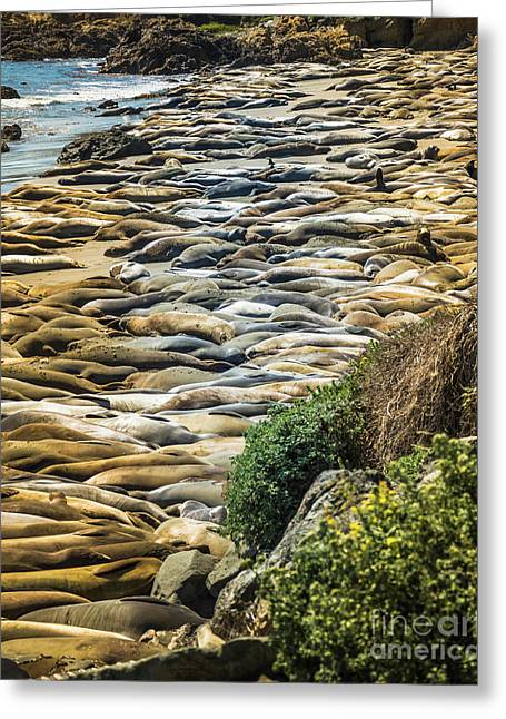 Elephant Seals Pierdras Blancas Greeting Card