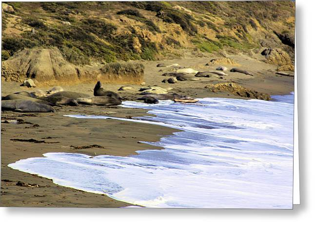 Elephant Seals Greeting Card by Sharon Broucek