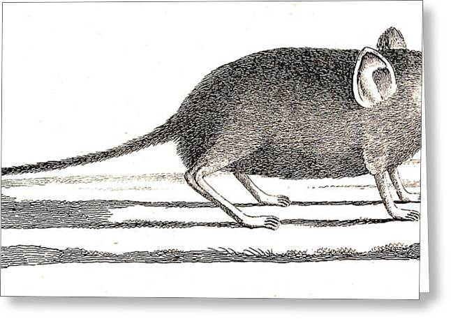Elephant Shrew With Long Proboscis Greeting Card by Wellcome Images