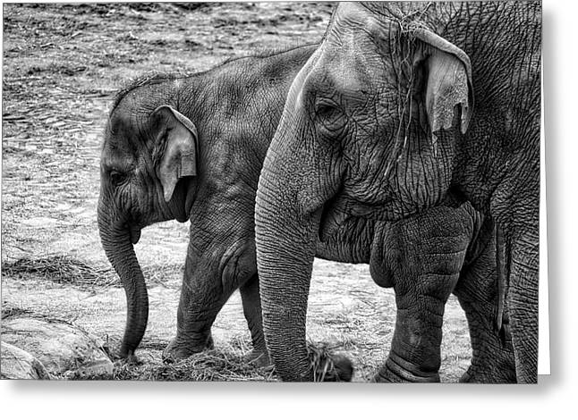 Elephants Bw Greeting Card
