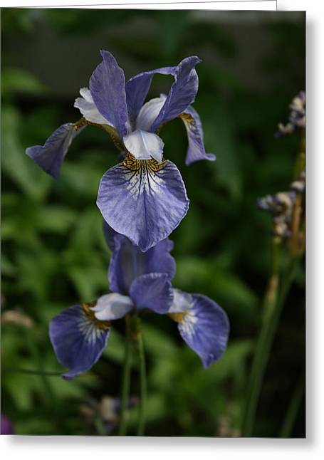 Elevated Iris Greeting Card by Alan Rutherford