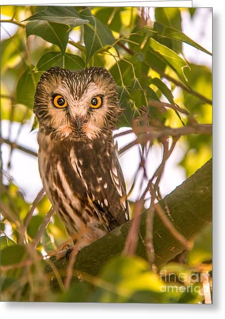 Elf Owl Greeting Card by Robert Bales
