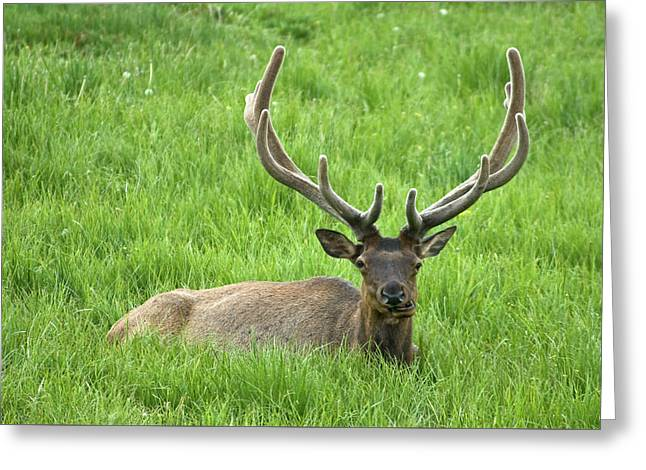 Greeting Card featuring the photograph Elk 6 by Gary Lengyel