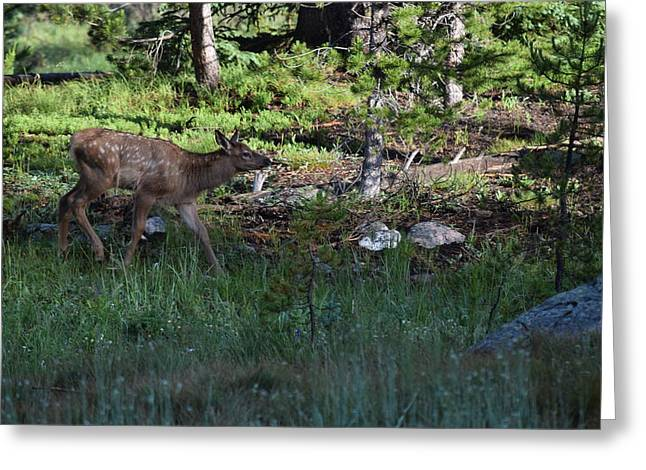 Baby Elk Rmnp Co Greeting Card