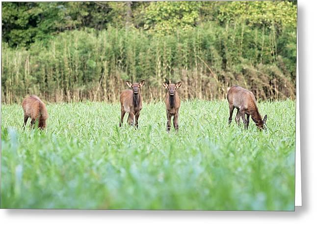 Elk Calves Greeting Card