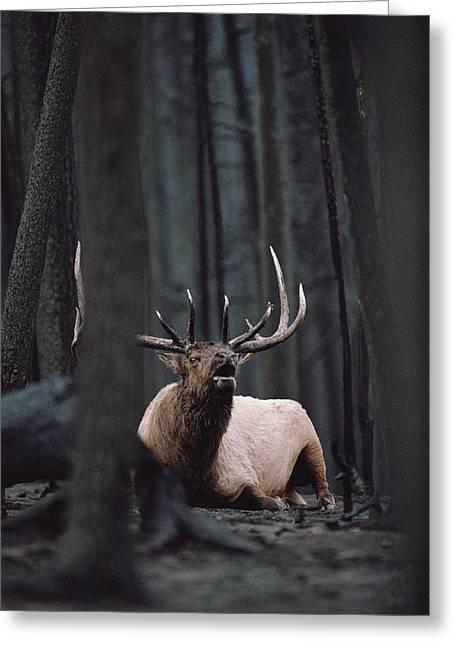 Three-quarter Length Greeting Cards - Elk Cervus Elaphus Bull Resting Greeting Card by Michael Quinton
